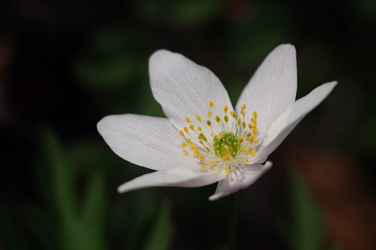 Foto_Hahnebach-Blüte-Buschwindröschen