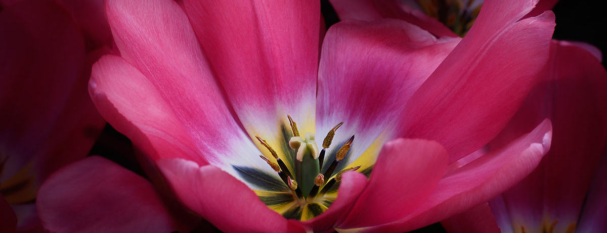 Tulpenblüte 2016, Foto Manuela Hahnebach